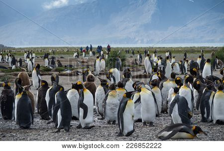 A Group Of Molting Adult King Penguins With Tourists In The Background.  Thousands Of Feathers Are O