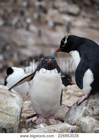 A Rockhopper Penguin Climbing Up Rocks Past A Standing Rockhopper Penguin With Pink Webbed Feet.