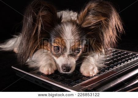 Beautiful Dog Continental Toy Spaniel Papillon Tired Of Working In Laptop On A Black Background