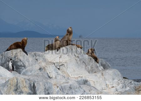 Blue Eyed Cormorants Or Shags And South American Fur Seals On A Rocky Island In The Beagle Channel,