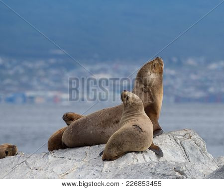 Four South American Fur Seals On A Gray Rock. A Young Seal Is In The Foreground And Ushuaia Argentin