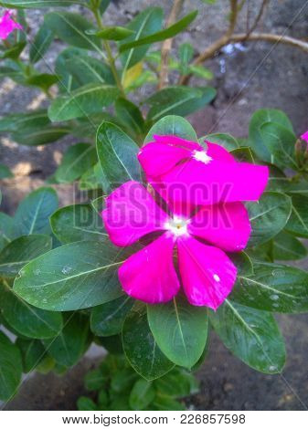 Natural Pink, hermosa flor del Amazonas Colombia