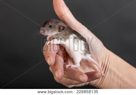 Baby Rat In The Palm Of A Human Closeup