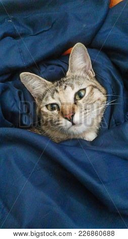 Cute Cat Lying In Bed Under A Blanket. Fluffy Pet Comfortably Settled To Sleep.