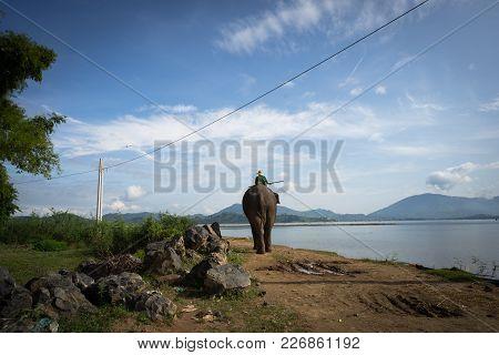 Elephant Walking By The Lake For Bathing In The Lak Lake, Dak Lak, Vietnam