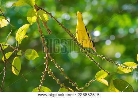 Black-naped oriole bird in yellow with pink bill,s perching on tree branch in Thailand, Asia (Oriolus chinensis)