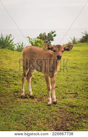 Young Curious Calf Looks At The Photographer, Nature Background