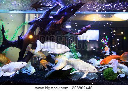 Blue Aquarium Fish. Large Aquarium With Beautiful Fish