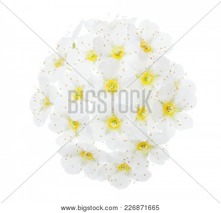 Tiny white flowers  of Vanhoutte spirea isolated on white  background.