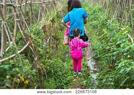 Little Girl Picking Tomatoes With Her Mother In A Cultivated Land Field Closeup