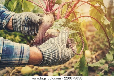 Two Male Hands Holding Torn From The Garden Beets. The Concept Of Urban Garden, Organic Vegetables.