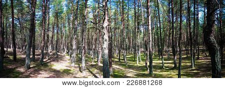 Dancing Forest, Curonian Spit At Kaliningrad Region Russia