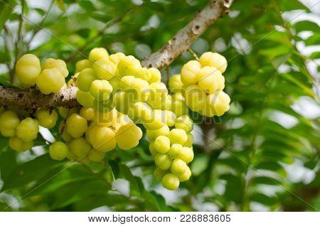 Star Gooseberry Fruit On The Tree, Tropical Fruit
