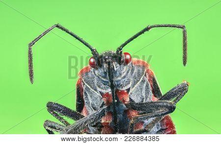 A Boxelder Bug (boisea Trivittata), Commonly Known As A Stinkbug.