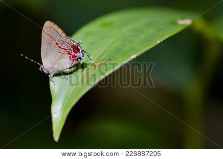 A Hairstreak Butterfly (calycopis Drusilla) On A Sunlit Leaf In Cahuita National Park, Costa Rica.