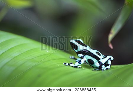 A green and black poison dart frog (Dendrobates auratus) sits on a banana leaf in Costa Rica. poster