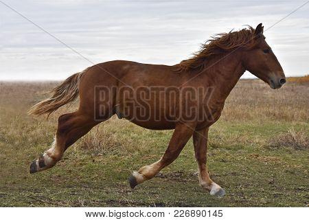Powerful Strong Horse Breeds Russian Heavy-duty Runs Across The Field