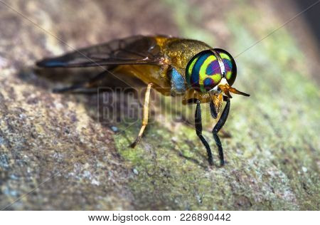 A Doctor Fly (aka Yellow Fly, Diachlorus Ferrugatus) Up Close In Belize.