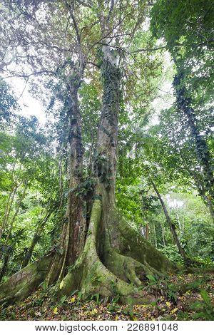 A Large Tree With Massive Buttress Roots Rises Into The Canopy Of The Costa Rican Jungle.