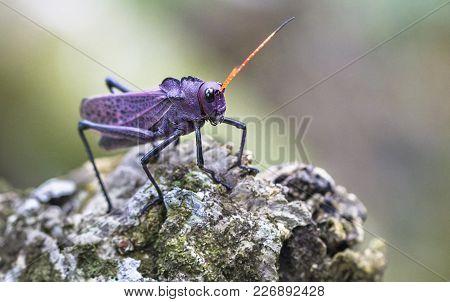 A Lubber Grasshopper (taeniopoda Reticulata) Sits On A Rock In Costa Rica.