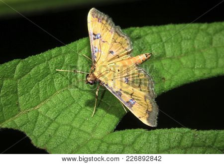 A Yellow Moth With Iridescent Wings Rests On A Leaf At Night In Belize.