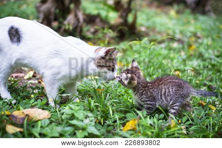 A Tabby Kitten Meets A White Young Adult Cat In Southern Costa Rica.