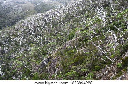 Dead Trees Add Flashes Of White To A Green Hillside In Cradle Mountain - Lake St Clair National Park