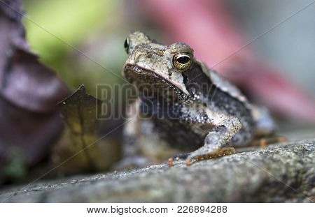 A Campbell's Rainforest Toad (bufo Campbelli Or Incilius Campbelli) Resting On A Rock In Belize.