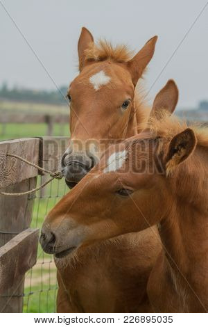 Photo Of A Pair Of Suffolk Punch Foals Playing With A Bit Of Rope