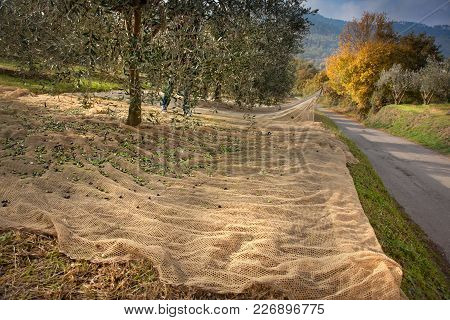 Bibbona, Tuscany, Italy, Process Of Harvesting Olives In The Slopes Of The Tuscan Hills