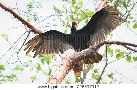 A Turkey Vulture (cathartes Aura) Spreads Its Wings In Belize.