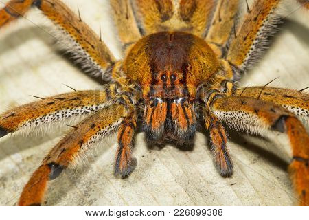 A Wandering Spider (family Ctenidae) Up Close At Night In Costa Rica.