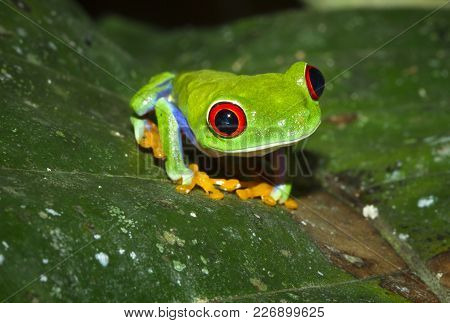 A Red Eyed Treefrog (agalychnis Callidryas) On A Leaf At Night In Tortuguero National Park, Costa Ri