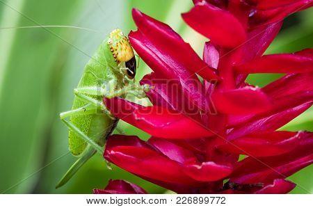 A Pitbull Katydid (lirometopum Coronatum) Crawls On A Bright Red Flower In Tortuguero National Park,