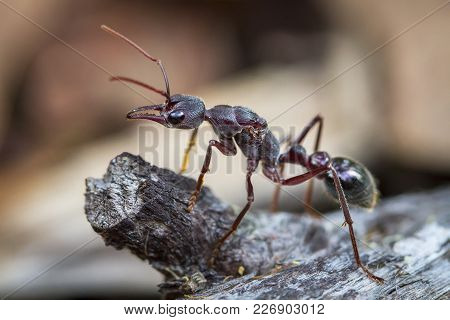 An Inchman Ant (myrmecia Forficata), A Species Of Bull Ant, Standing Guard Near Its Colony On Bruny