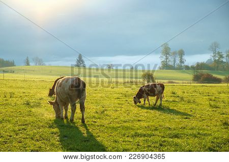 Cows Grazing On A Green Lush Meadow