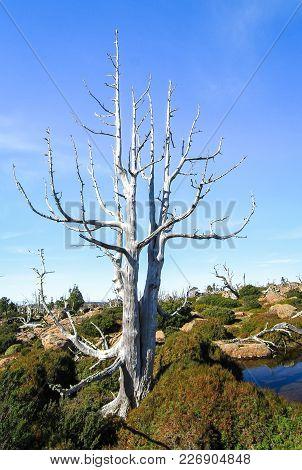 Dead Trees In The Walls Of Jerusalem National Park, Tasmania.