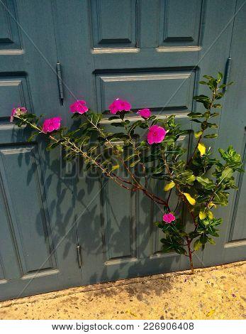 Pink Flowering Shrub Grows Through Crack In Concrete Next To Building