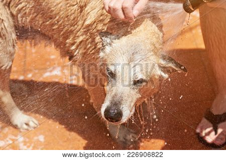 Wet Head Of Brown Dog Spraying With Water. Cleaning Big Brown Shepherd Dog