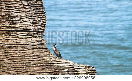 Spotted Shags (phalacrocorax Punctatus Punctatus) On A Layered Rock Formation At Pancake Rocks Near