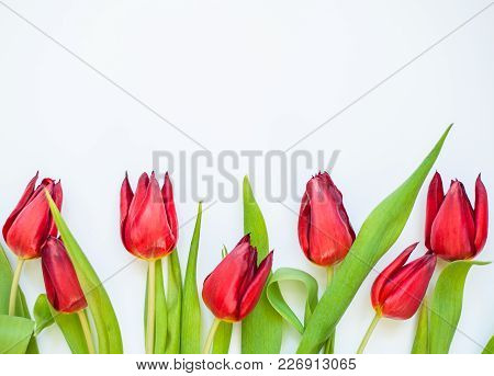 Fresh Spring Red Tulip Flowers On White Background. Flat-lay. Negative Space.