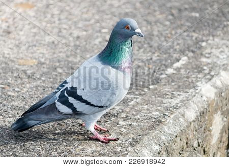 A Large Pigeon Stands On The Concrete Flooring