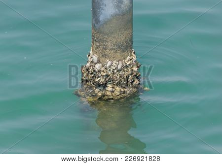 Mussel Shellfish Post In The Sea Human Food
