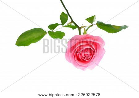 Isolate Pink Rose, A Select Focus Closeup Photo Image Of Single Pink Rose Flower With Green Rose Lea