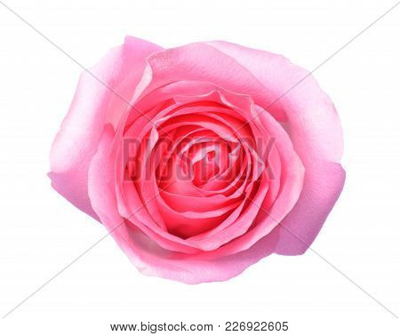 Pink Rose, A Top View Photo Of Single Pink Rose Flower Isolate On White Background Present A Detail