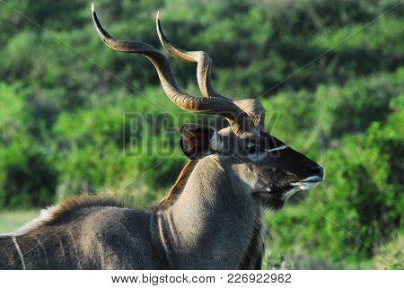 A Beautiful Wild Kudu Antelope Encountered On Safari In South Africa