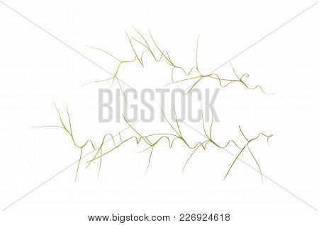 Isolate Spanish Moss, Tillandsia Usneoides, A Close Up Photo Image Of Spanish Moss Isolate On Bright