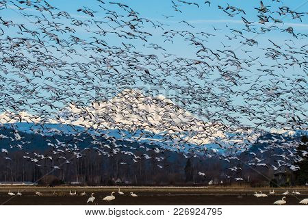 Snow Geese Flying Over Skagit Valley, Wa During Their Annual Migration
