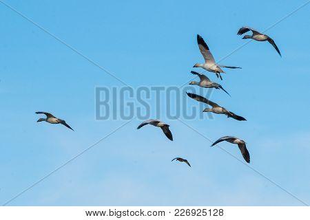 Snow Geese In Flight Over Skagit Valley, Wa