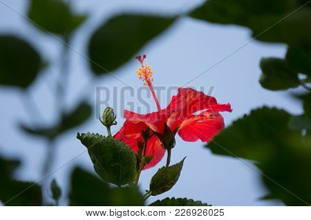 Close Up Of Red Hibiscus Rosa-sinensis